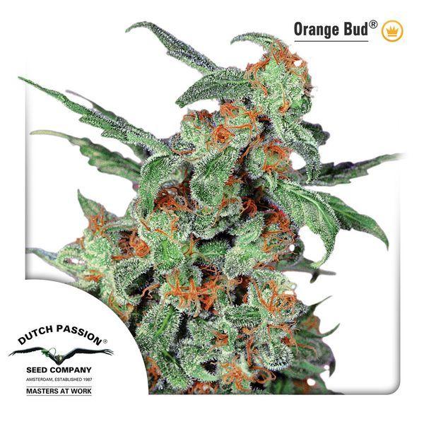 Dutch Passion Seeds / FEM / Orange Bud