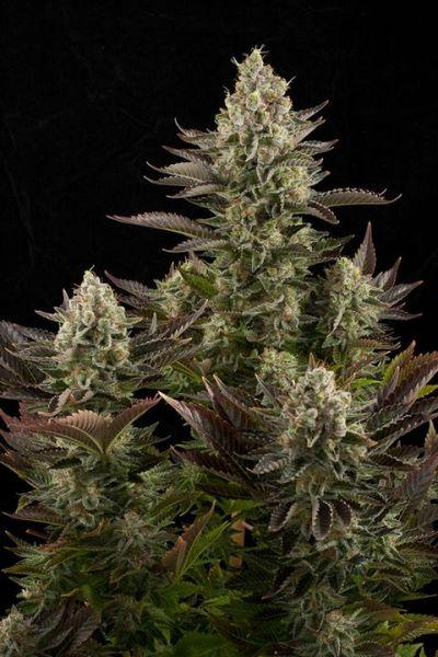 Dinafem Seeds / FEM / White Widow